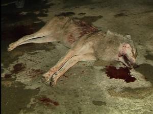 სოფელ დარჩელში მგელი მოკლეს.