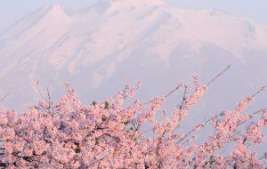 იაპონიაში საკურა აყვავილდა