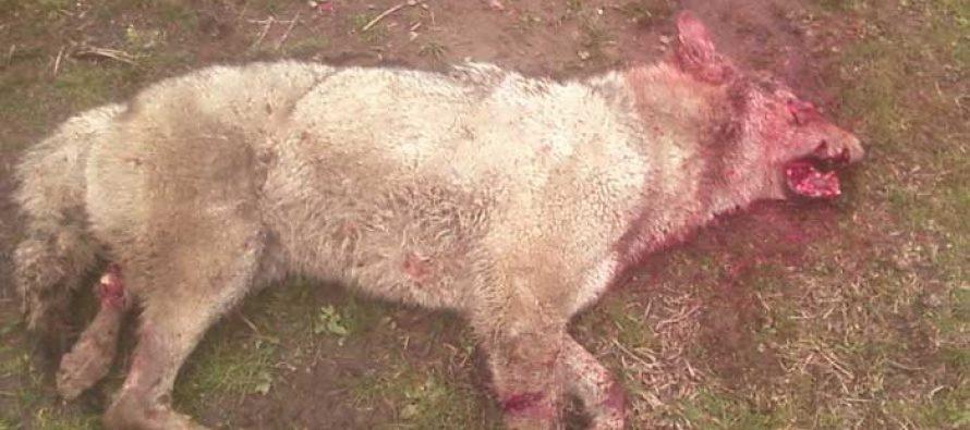 გურიაში 23 წლის ახალგაზრდა ეზოში მგელმა დაკბინა