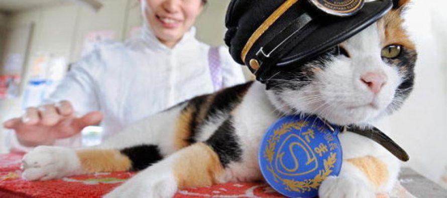 იაპონიაში დაასაფლავეს კატა, რომელიც სადგურის უფროსად მუშაობდა