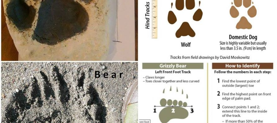 როგორ გავარჩიოთ  ვეფხვის, მგლის, დათვის და ძაღლის ნაკვალევი- ზოოპარკი ფოტომასალას ავრცელებს