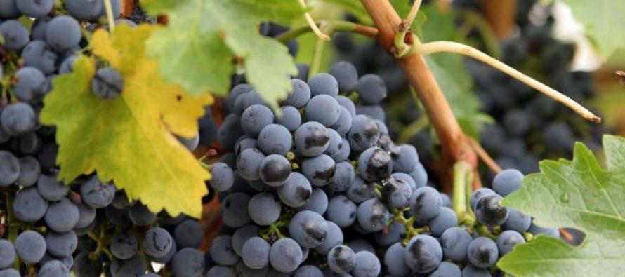 კახეთში ამ დროისთვის 60 ათას ტონაზე მეტი ყურძენია გადამუშავებული