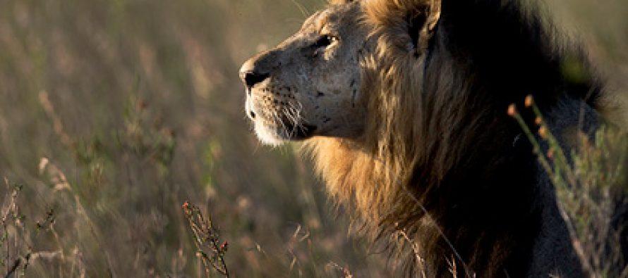 პარკიდან გაქცეული ლომები კენიის ქუჩებში აღმოჩნდნენ