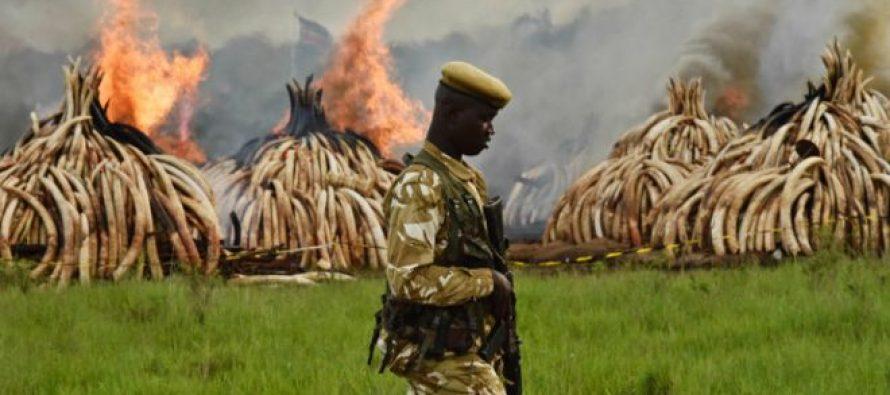 კენიაში დაახლოებით 100 ტონა სპილოს ძვალი დაწვეს
