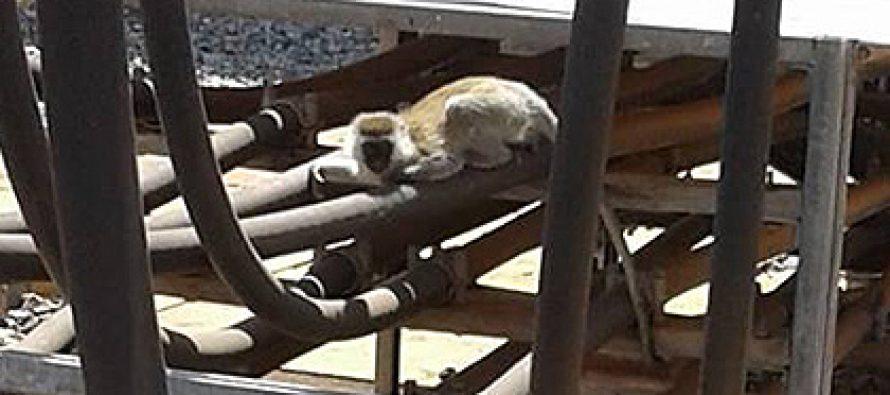 კენიაში მაიმუნმა მთელი ქვეყანა ელექტროენერგიის გარეშე დატოვა