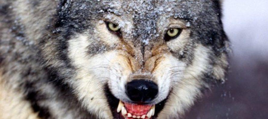 თბილისში მგელი დაიჭირეს