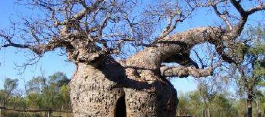 """""""ივანიშვილმა გურული ოჯახისგან 45 ათას დოლარად ბაობაბის ხე შეიძინა"""""""