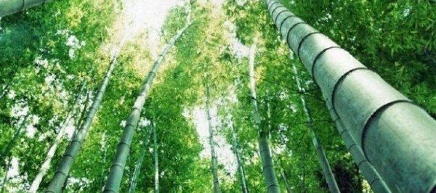 ივანიშვილი ასწლოვან ხეებთან ერთად მრავალწლოვანი ბამბუკებითაც დაინტერესდა