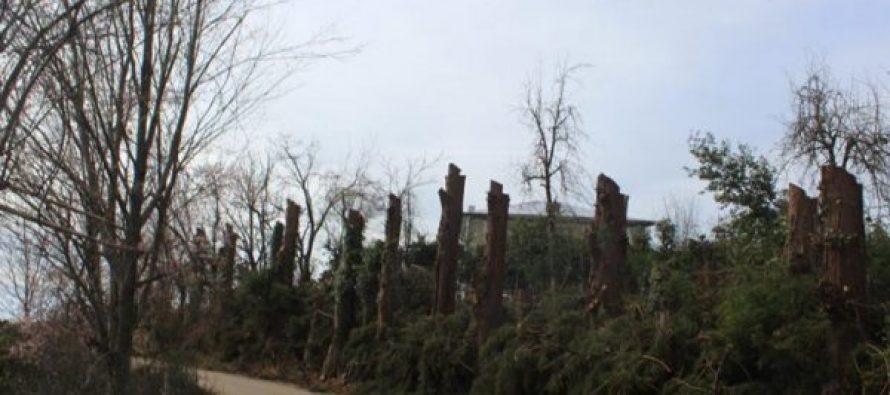 ხეები კერძო საკუთრებაშია და მოქალაქემ გადაწყვიტა, რომ მოეჭრა – ქობულეთის მერი