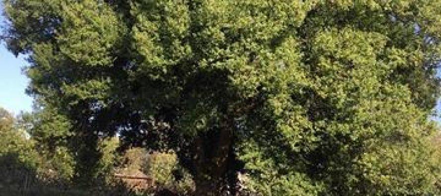 ამ წუთებში ივანიშვილს ზუგდიდიდან 150 წლის მუხა მიაქვს (ფოტო)