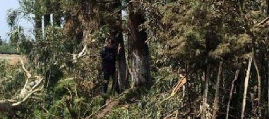 ანაკლია-ზუგიდიდს გზაზე ევკალიპტებს და წიწვოვან ხეებს ჭრიან