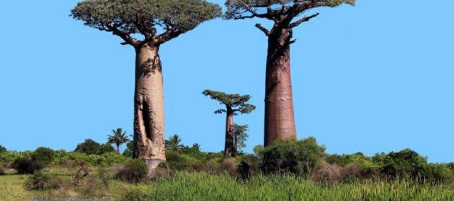აფრიკაში ათასწლოვანი ბაობაბები ხმებიან, მეცნიერებმა არ იციან რატომ