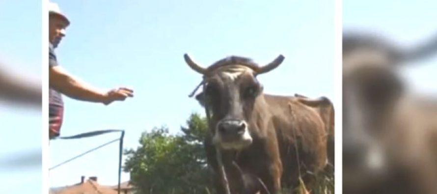 """გადაარჩინე პენკა – ძროხას ევროკავშირში კლავენ იმიტომ რომ ის სერბეთში """"დოკუმენტების გარეშე""""  გადავიდა"""