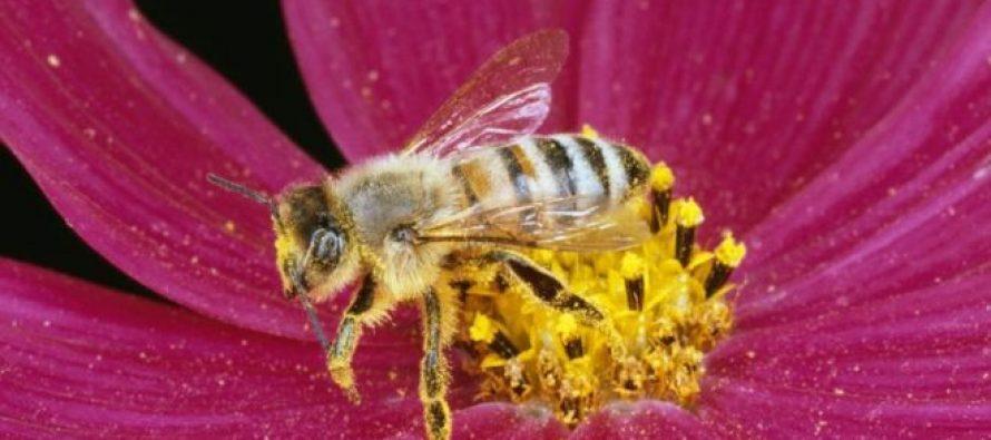 მეცნიერები: ფუტკრებს მათემატიკური ამოცანების ამოხსნა შეუძლიათ