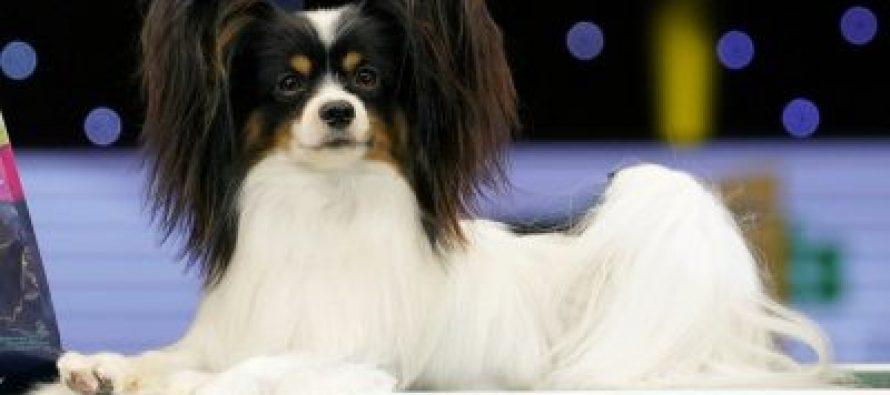 ძაღლების გამოფენა Crufts-ზე საუკეთესოდ პაპიონი დილანი დაასახელეს (ფოტო)
