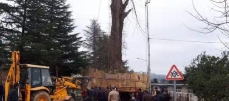გიგანტური ხე, რომელიც ქობულეთის ერთ-ერთი სოფლიდან ივანიშვილის პარკში გადაჰქონდათ, გზაში გაიჭედა