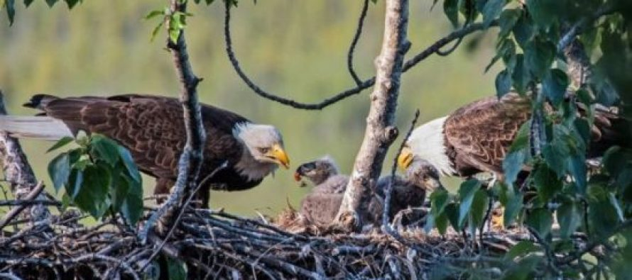 დედა და ორი მამა: არწივების არატრადიციული ოჯახი იპოვეს (ვიდეო)