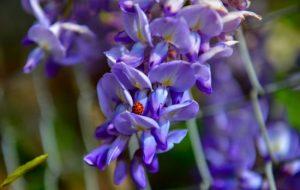 """ლილიების """"ჩანჩქერი"""": ყვავილი, რომელიც აფხაზეთში ხარობს"""