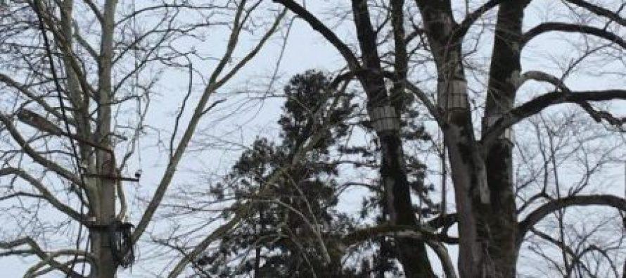 გაღმა ქარიატადან ბიძინა ივანიშვილის დენდროლოგიურ პარკში ორ საუკუნეს გადაცილებული ხე გააქვთ
