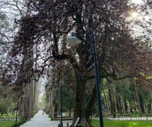 შეეწირება თუ არა ზუგდიდის ბოტანიკურ ბაღში ჩატარებულ სამუშაოებს სამასწლოვანი მაგნოლიის ხე