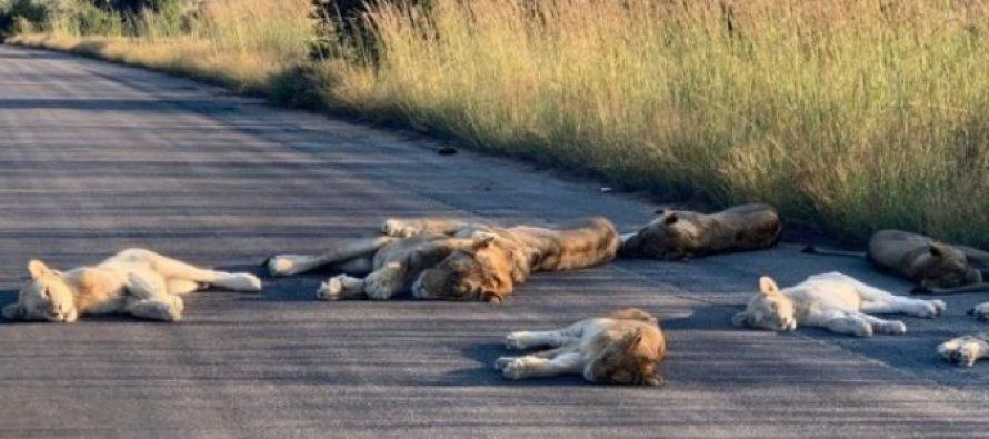 სამხრეთ აფრიკაში covid19-ის გამო დაწესებული კარანტინის დროს ლომებს სამანქანო გზაზე ეძინათ
